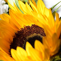 Buy canvas prints of Sunflower by Robert Davies