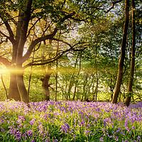 Buy canvas prints of Stunning bluebell forest in spring sunrise by simon bratt LRPS