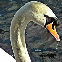 Buy canvas prints of  Mute swan by Del fox canvas and prints