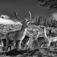 Buy canvas prints of Fallow deer by Fox Images