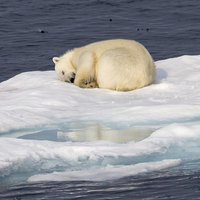 Buy canvas prints of  Sleeping Polar Bear Reflection by Kevin Tappenden