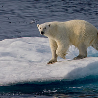 Buy canvas prints of Polar Bear by Kevin Tappenden