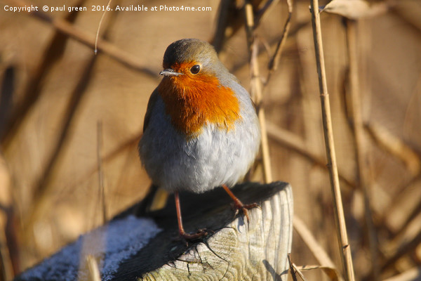 Robin Red Breast Canvas Print by paul green