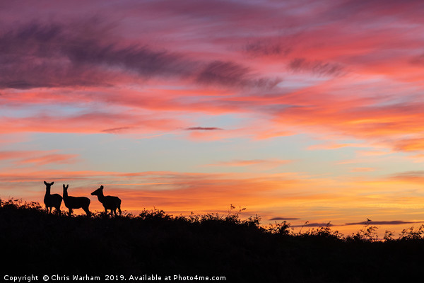 Red deer at sunset - silhouette  Canvas print by Chris Warham