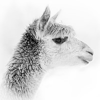 Buy canvas prints of Alpaca Portrait - black and white by Chris Warham