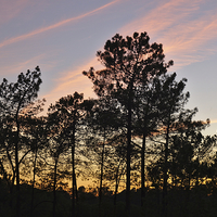 Buy canvas prints of Twilight Tree Silhouettes by Angelo DeVal