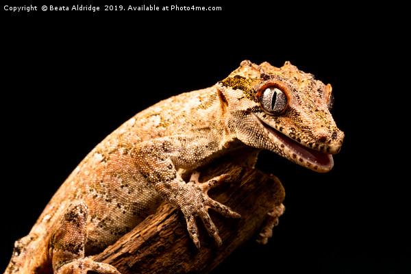 Gargoyle gecko (Rhacodactylus auriculatus) Canvas print by Beata Aldridge