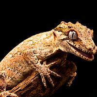 Buy canvas prints of Gargoyle gecko (Rhacodactylus auriculatus) by Beata Aldridge