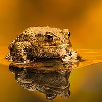 Buy canvas prints of Common toad (Bufo Bufo) by Beata Aldridge