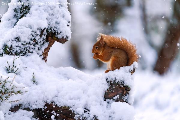 Red Squirrel (Sciurus vulgaris) Canvas print by Beata Aldridge