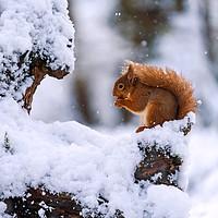 Buy canvas prints of Red Squirrel (Sciurus vulgaris) by Beata Aldridge
