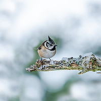 Buy canvas prints of Crested tit (Lophophanes cristatus) by Beata Aldridge