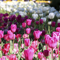 Buy canvas prints of  Tulip field by Leslie Dwight