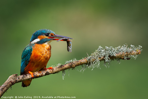 Kingfisher (Alcedo atthis) Canvas print by John Ealing
