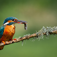 Buy canvas prints of Kingfisher (Alcedo atthis) by John Ealing
