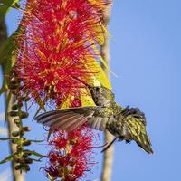 Buy canvas prints of  Feeding Hummingbird by Shawn Jeffries
