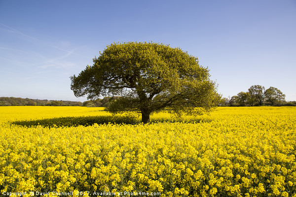 Landican Rapeseed Beauty  Canvas print by David Chennell