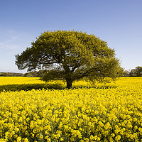 Buy canvas prints of Landican Rapeseed Beauty  by David Chennell
