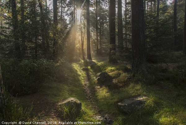 Forest Sunshine    Canvas print by David Chennell