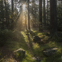 Buy canvas prints of Forest Sunshine    by David Chennell