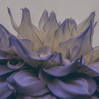 Buy canvas prints of  Blue Flower Explosion by Amanda Sims