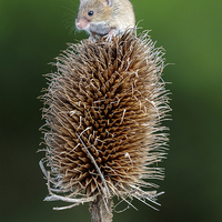 Buy canvas prints of Harvest mouse by chris smith
