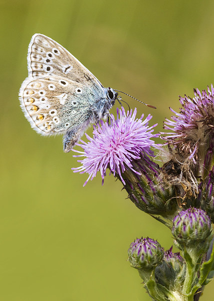 common blue, Butterfly Canvas print by chris smith