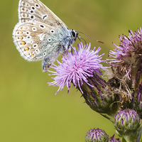 Buy canvas prints of common blue, Butterfly by chris smith