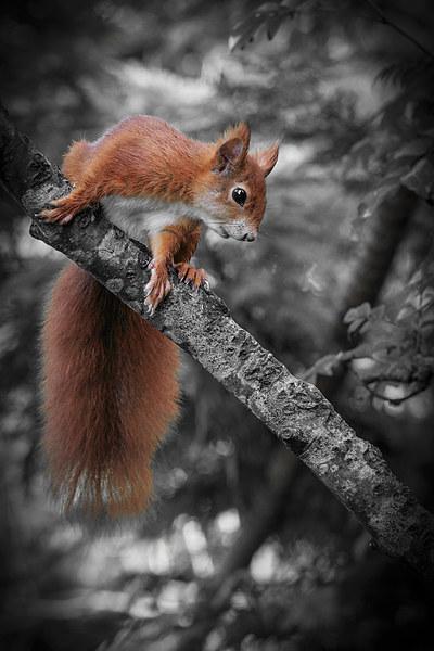 Red squirrel (Sciurus vulgaris) Canvas Print by chris smith