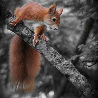 Buy canvas prints of Red squirrel (Sciurus vulgaris) by chris smith