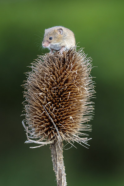 Harvest mouse  Canvas print by chris smith