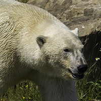 Buy canvas prints of polar bear  by chris smith