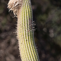 Buy canvas prints of Cactus  by chris smith
