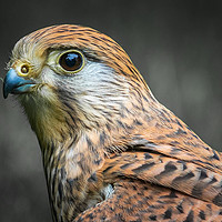 Buy canvas prints of kestrel   by chris smith