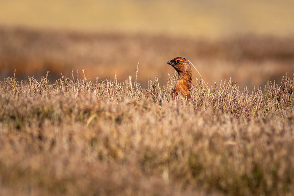 Red grouse  (Lagopus lagopus)           Canvas print by chris smith