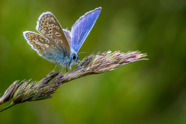 Common Blue butterfly (Polyommatus icarus) Canvas Print by chris smith