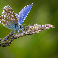 Buy canvas prints of Common Blue butterfly (Polyommatus icarus) by chris smith
