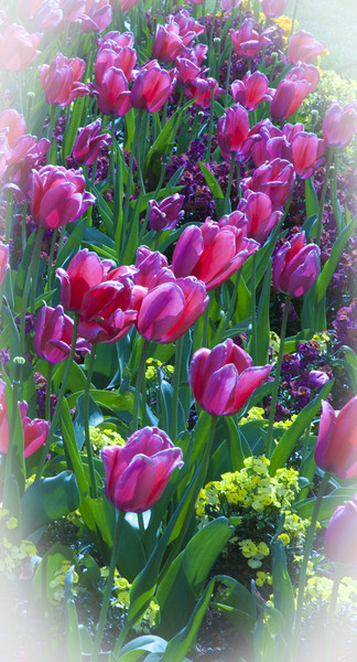 Pink Tulips & Spring Flowers  Canvas print by Philip Enticknap