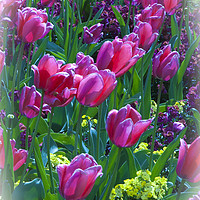 Buy canvas prints of Pink Tulips & Spring Flowers  by Philip Enticknap