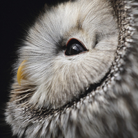 Buy canvas prints of  Ural Owl. by Andrew Bartlett