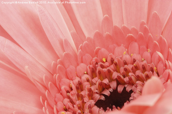 Macro of a Gerbera Canvas Print by Andrew Bartlett