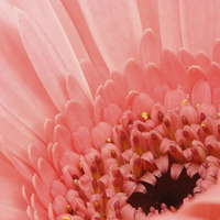 Buy canvas prints of  Macro of a Gerbera by Andrew Bartlett