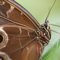 Buy canvas prints of Blue Morpho butterfly by Andrew Bartlett