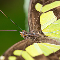 Buy canvas prints of Malachite butterfly by Andrew Bartlett