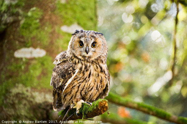 A Long Eared Owl sitting on a tree branch. Framed Print by Andrew Bartlett