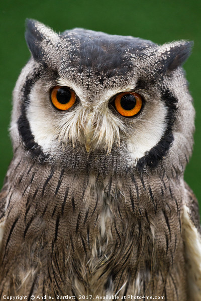 Northern White Faced Scops Owl Print by Andrew Bartlett