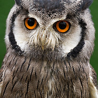 Buy canvas prints of Northern White Faced Scops Owl by Andrew Bartlett