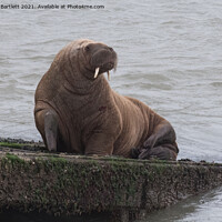 Buy canvas prints of Arctic Walrus 'Wally' at Tenby, Pembrokeshire, West Wales, UK by Andrew Bartlett