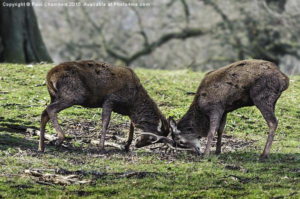 Rutting Deer Canvas print by Paul Chambers
