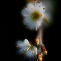 Buy canvas prints of BLOSSOM GLOW by Tony Sharp LRPS CPAGB